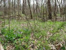 bluebells in woods.jpg