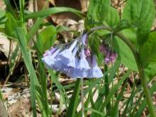 Virginia bluebells closeup.jpg